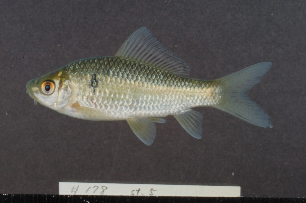 Osteochilus sp./spp. (not yet identified)